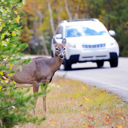 Save Your Car (and the Deer)